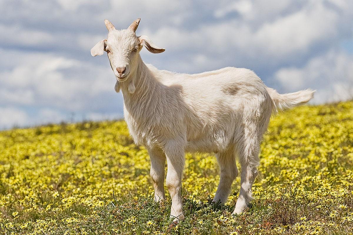 Купи козу
